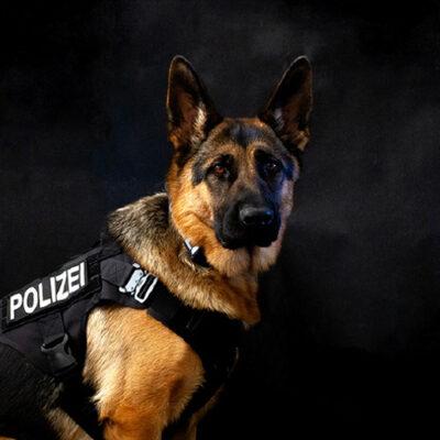 Polizeihund Usa, Suchhund, Schutzhund vom Team der LEON DOGS